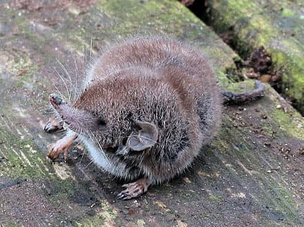 Andaman White-Toothed Shrew