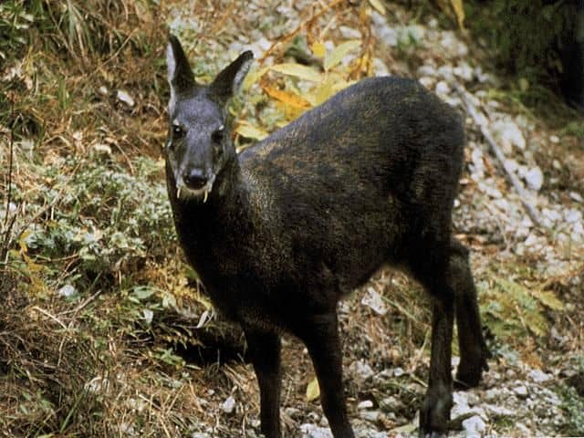 White-bellied Musk Deer